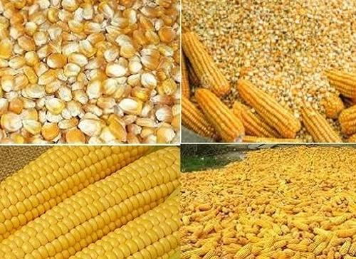 Corn for animal feed meals